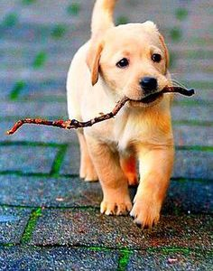 Dog Otic   Ear