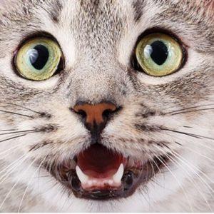 Cat Dental